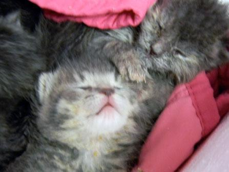 Rescue kittens a few days old